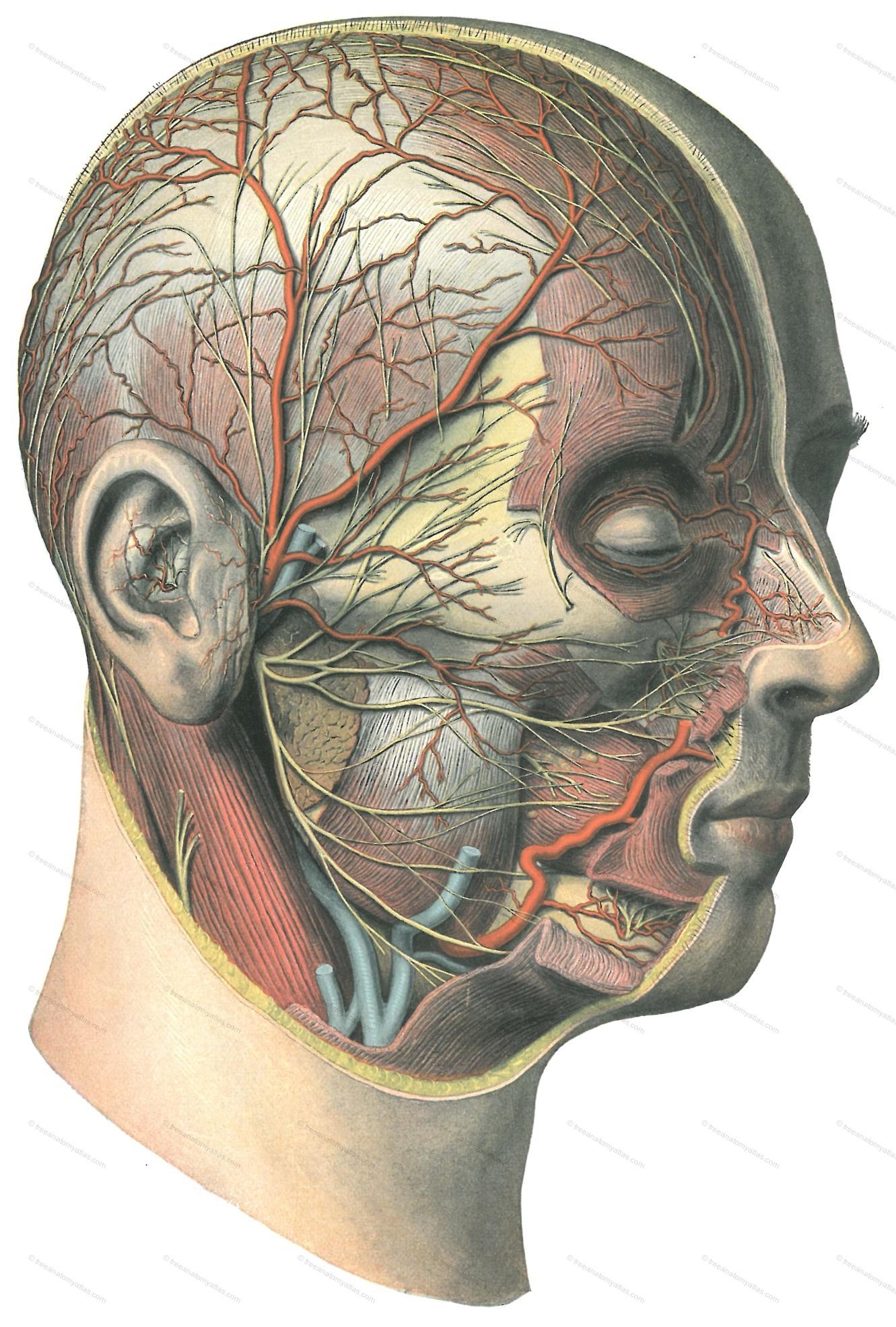 Free Anatomy Atlas